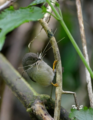 The long-tailed Pygmy Tit has an overall size of around 8 cm