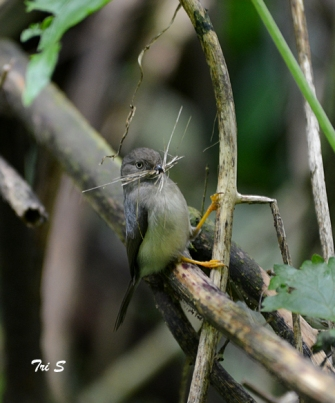 Cerecet jawa or pygmy tit collecting materials for building a nest